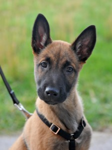 portrait of a young puppy purebred belgian shepherd malinois with harness
